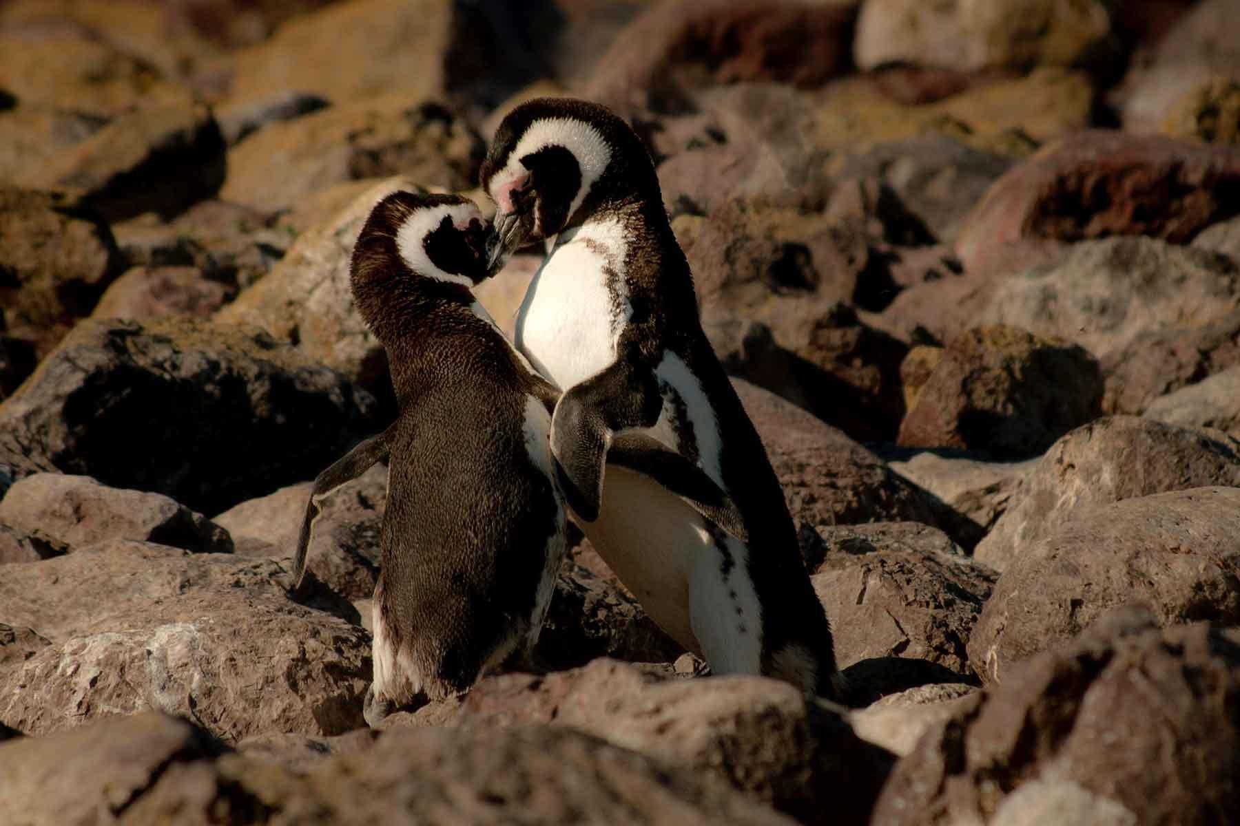Resor-till-Argentina---djurliv-pingvin--Nygren-&-Lind-Resebyrå