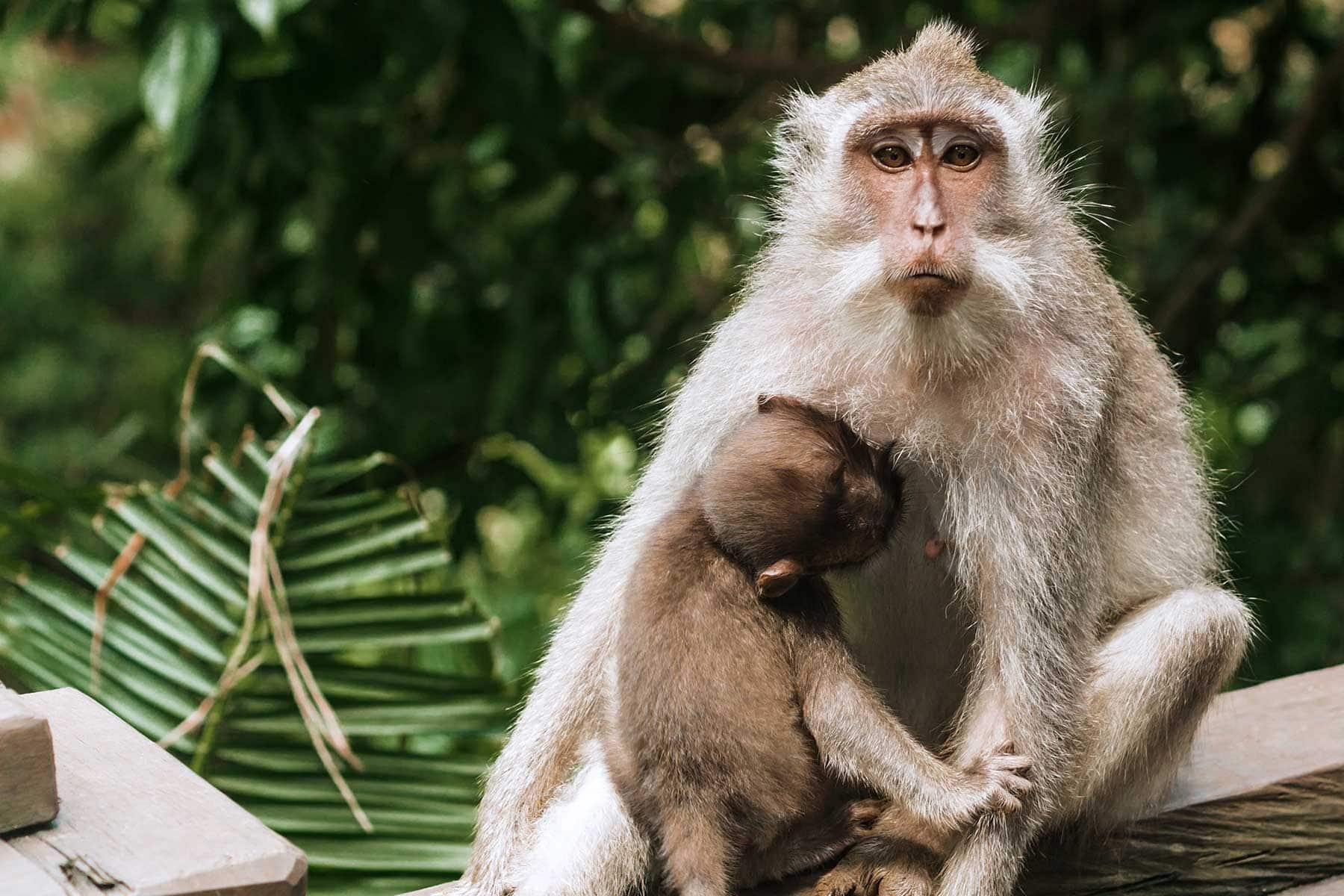 Resor-till-Bali-med-Nygren-&-Lind-Resebyrå---apa-med-unge