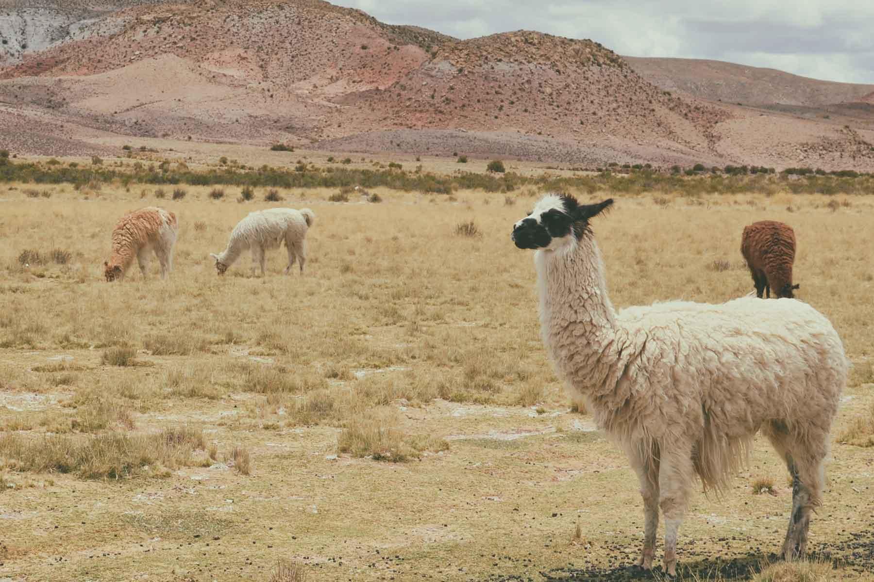 Resor-till-Bolivia-med-Nygren-&-Lind-Resebyrå---lama-på-slätten
