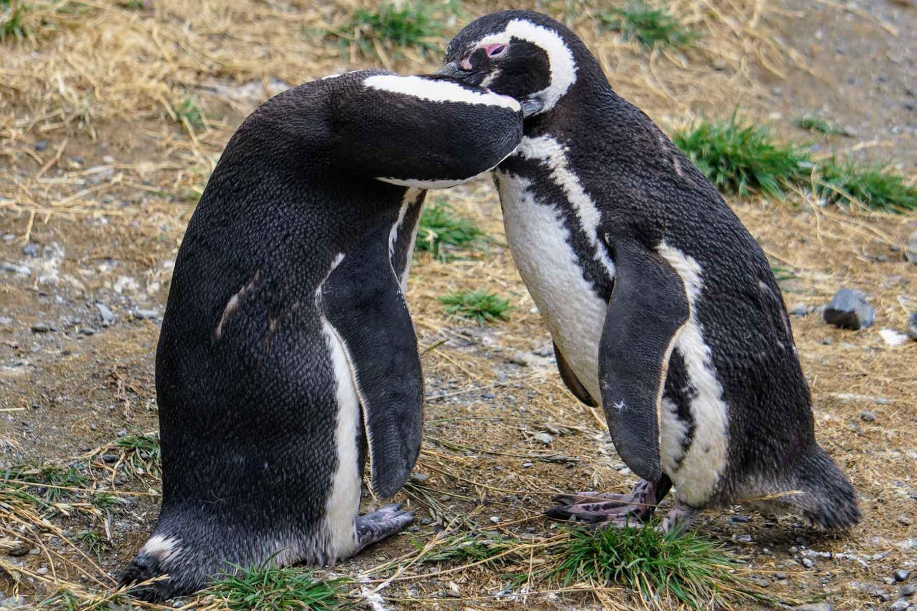 Resor-till-Chile-med-Nygren-&-Lind-resebyrå--pingviner