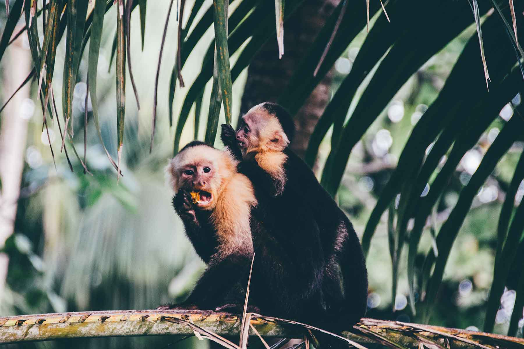 Resor-till-Costa-Rica-med-Nygren-&-Lind-Resebyrå---apor-djungeln
