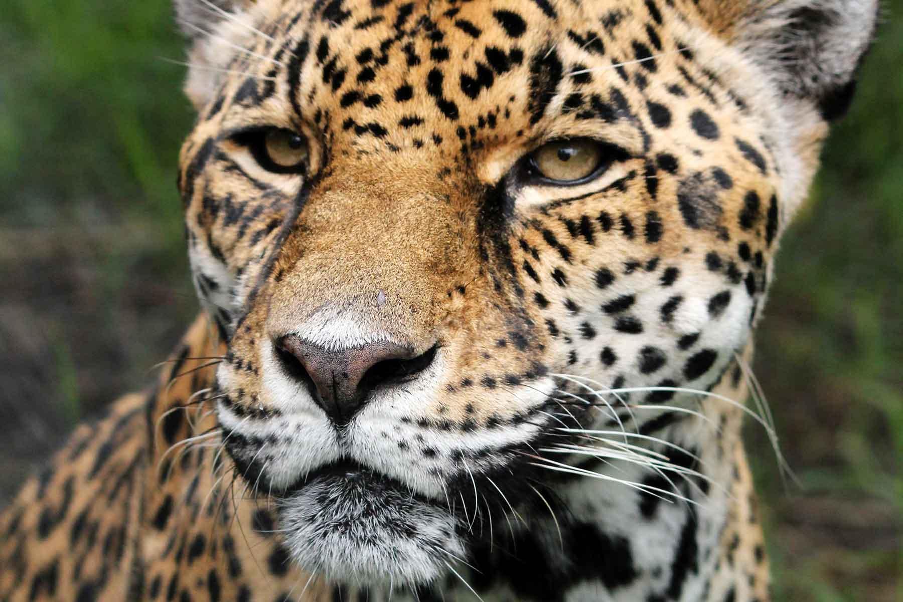 Resor-till-Costa-Rica-med-Nygren-&-Lind-Resebyrå---gepard