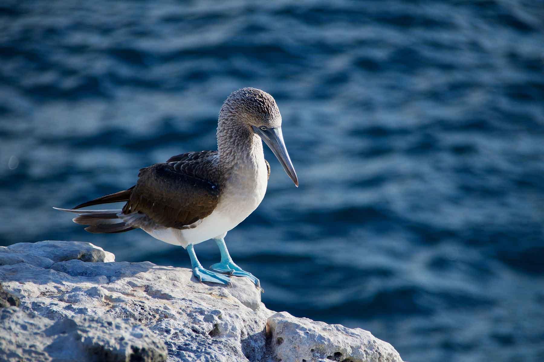 Resor-till-Ecuador-med-Nygren-&-Lind-Resebyrå---galapagos-blåfot-fågel