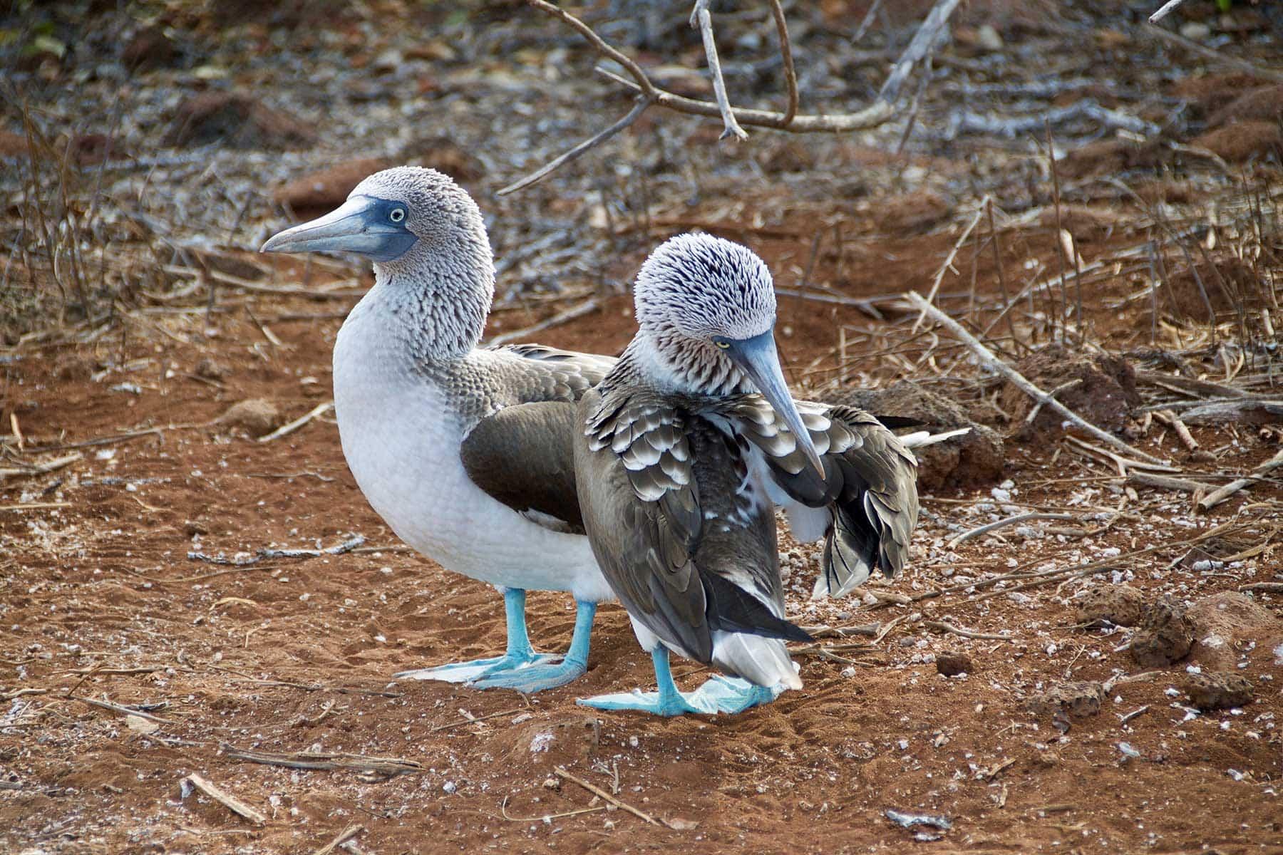 Resor-till-Galapagos-med-Nygren-&-Lind-Resebyrå---blåfotad-fågel