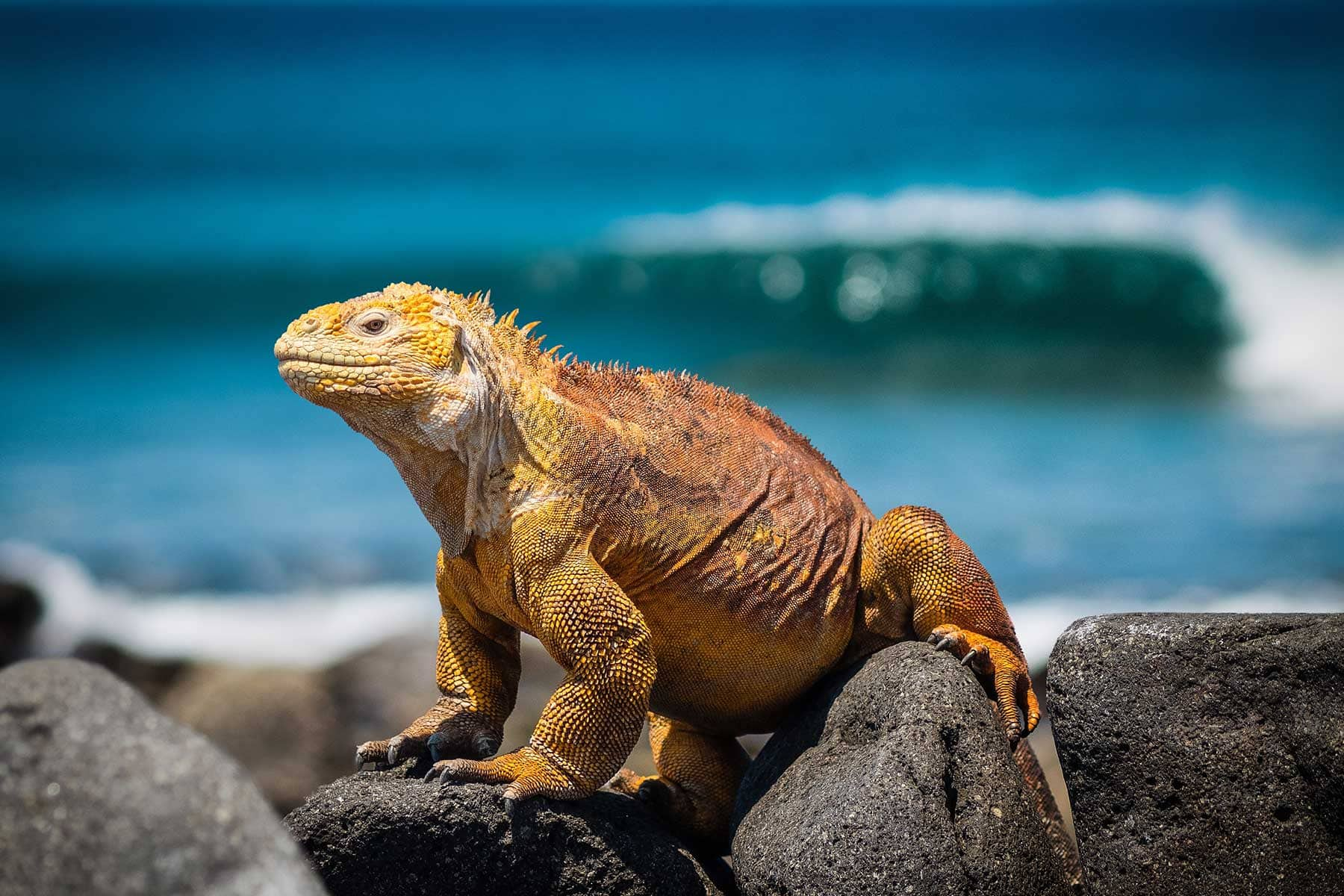 Resor-till-Galapagos-med-Nygren-&-Lind-Resebyrå---gul-leguan