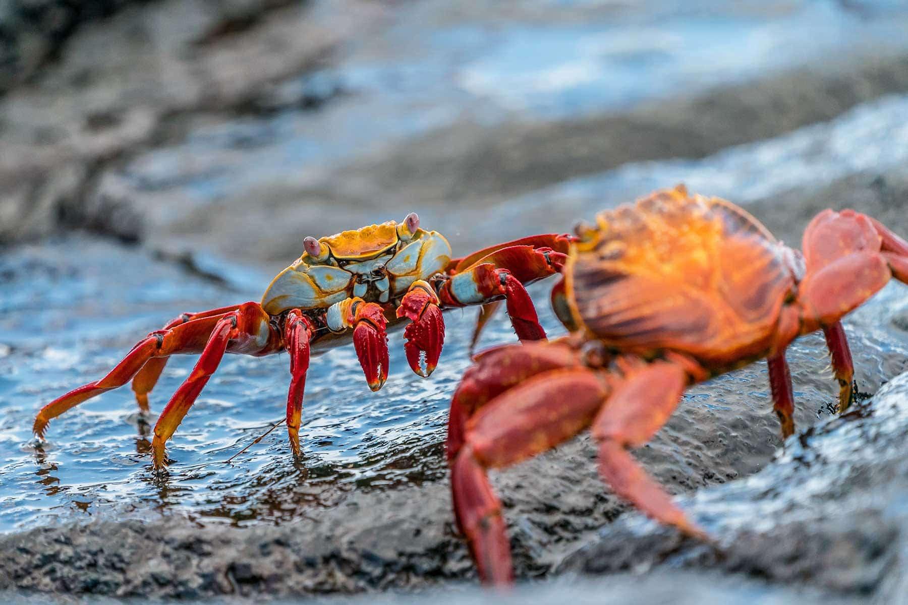 Resor-till-Galapagos-med-Nygren-&-Lind-Resebyrå---krabba