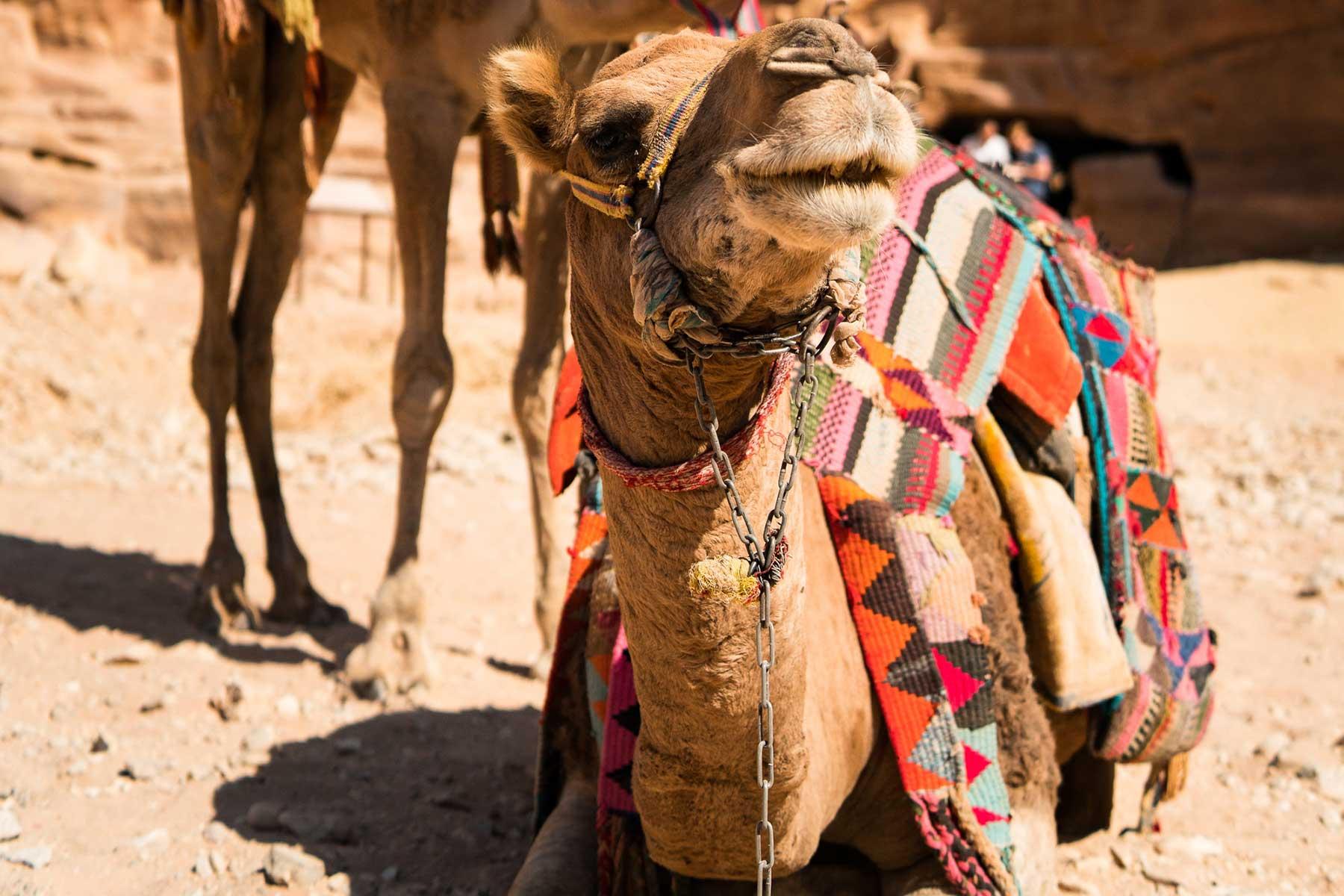 Resor-till-Jordanien-med-Nygren-&-Lind-Resebyrå---kamel