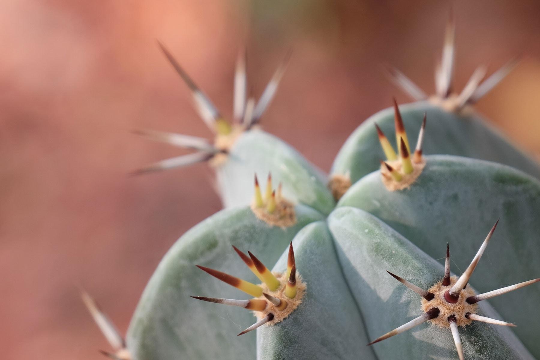 Resor-till-Madagaskar---kaktus---Nygren-Lind-Resebyrå