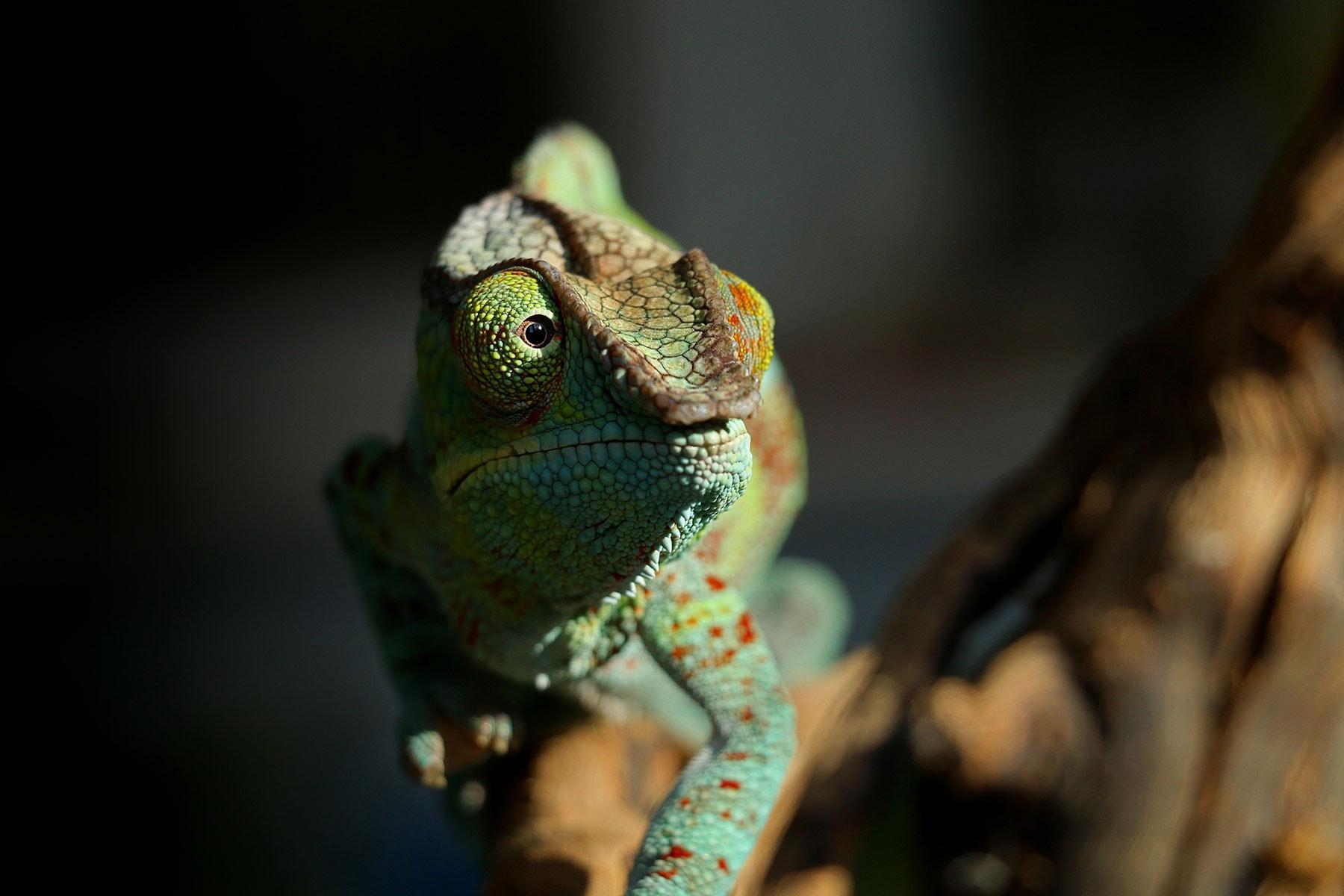 Resor-till-Madagaskar---kameleont-2---Nygren-Lind-Resebyrå