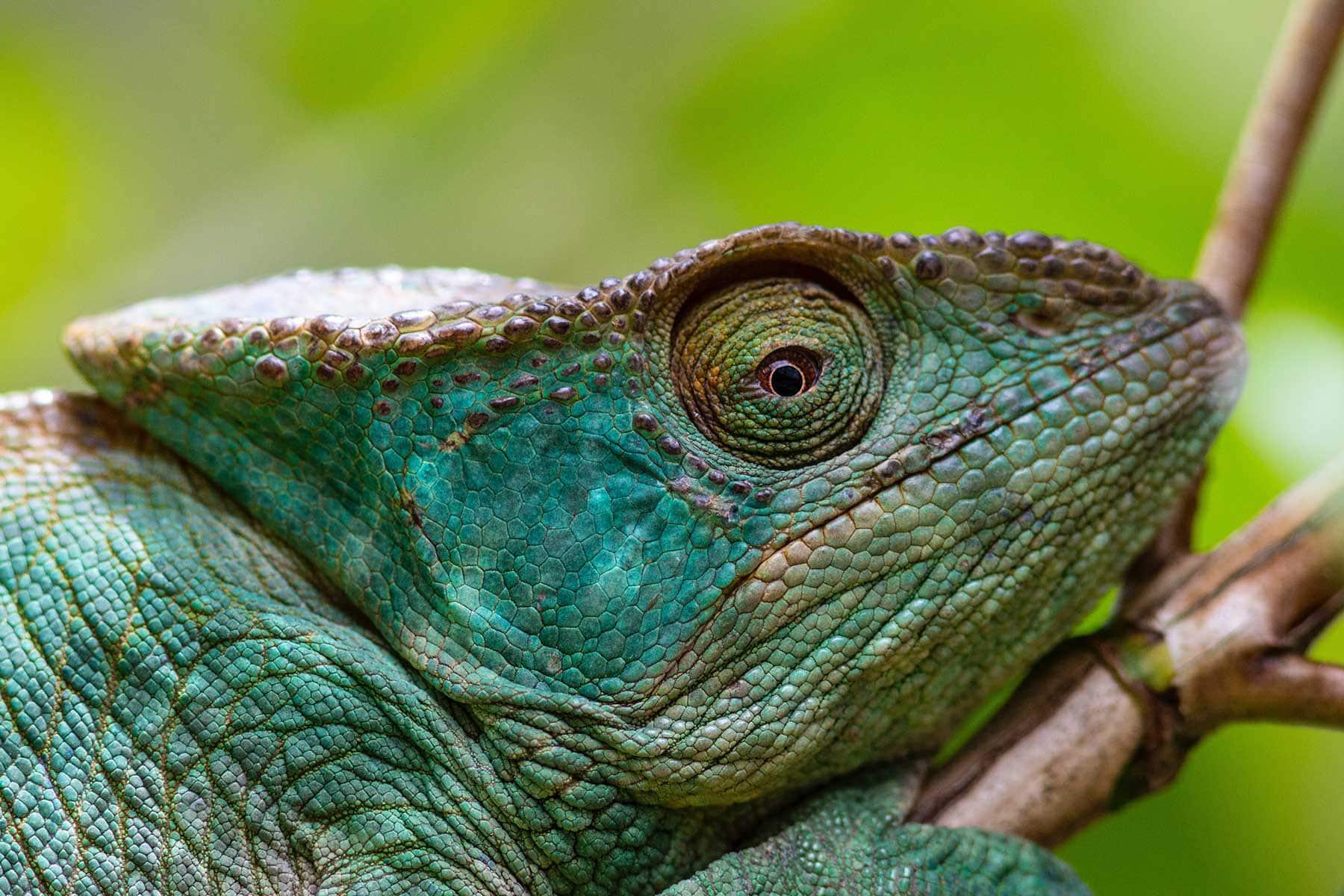 Resor-till-Madagaskar---kameleont---Nygren-Lind-Resebyrå