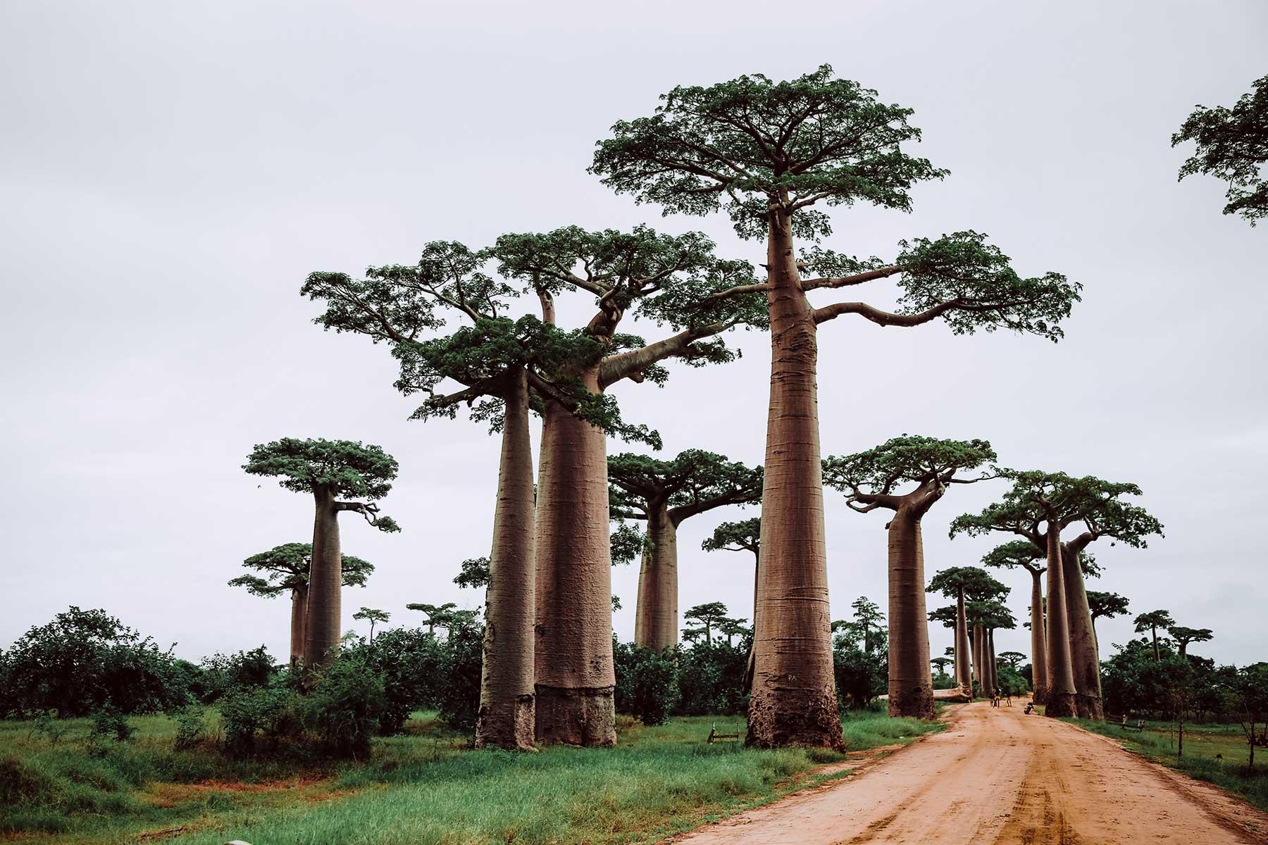 Resor-till-Madagaskar---träd---Nygren-Lind-Resebyrå