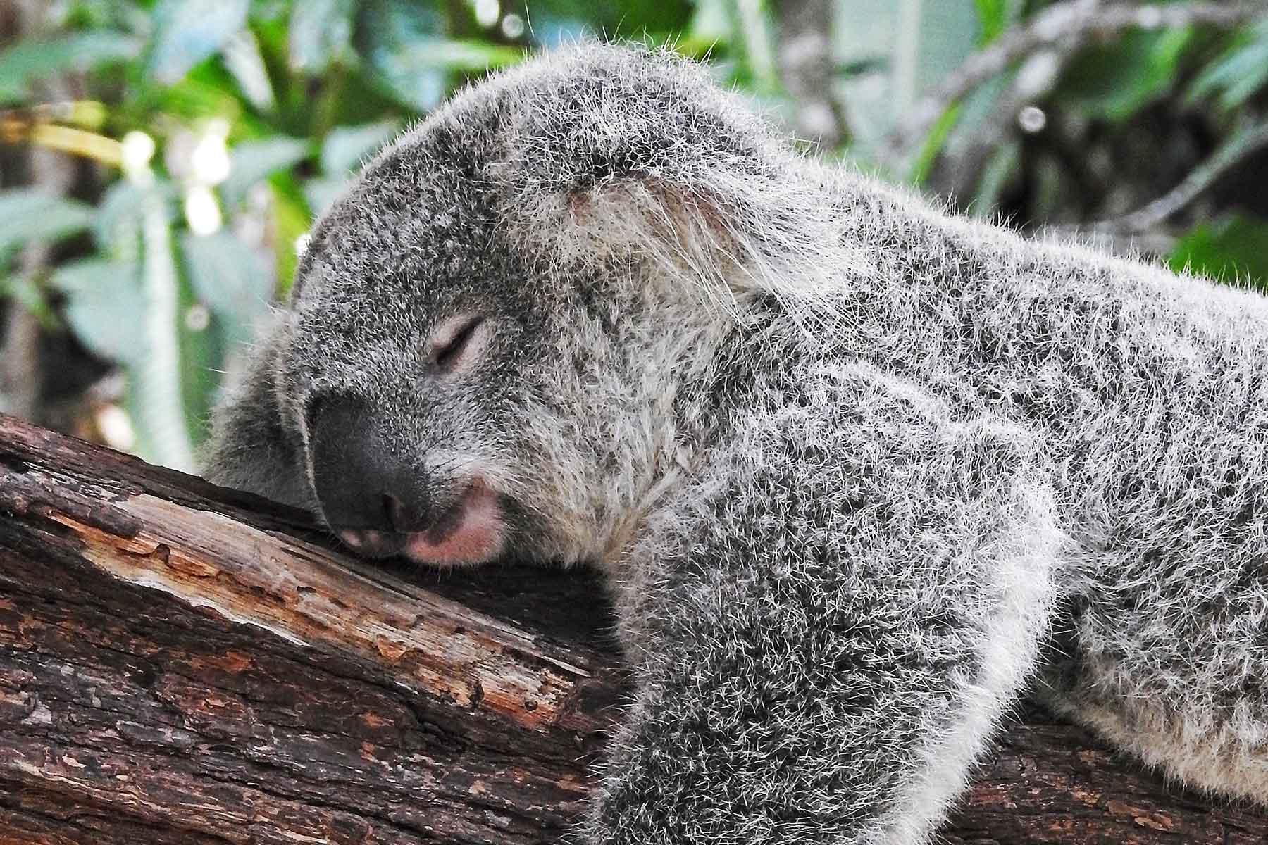 Resor-till-Oceanien-med-Nygren-&-Lind-Resebyrå---koala-björn