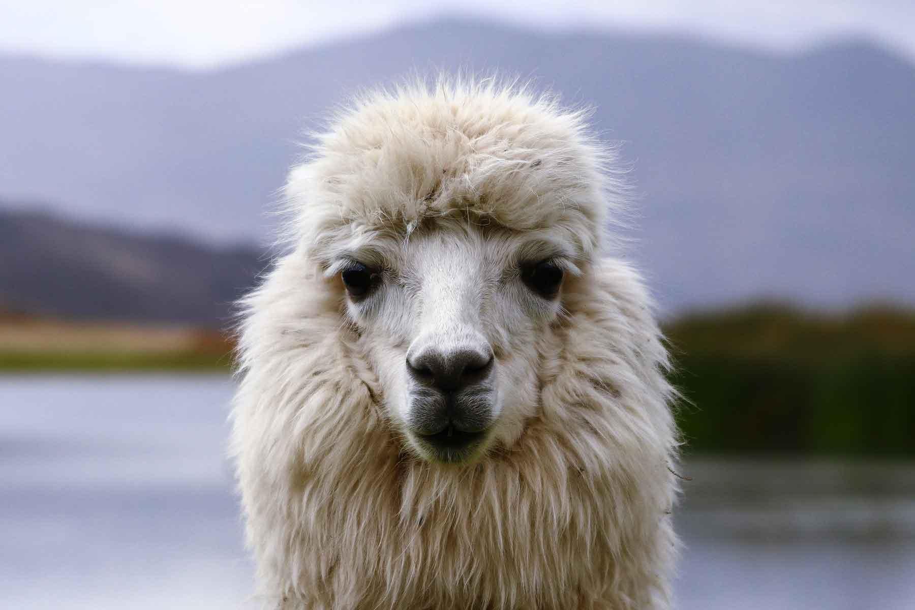 Resor-till-Peru-med-Nygren-&-Lind-Resebyrå---djurliv-lama
