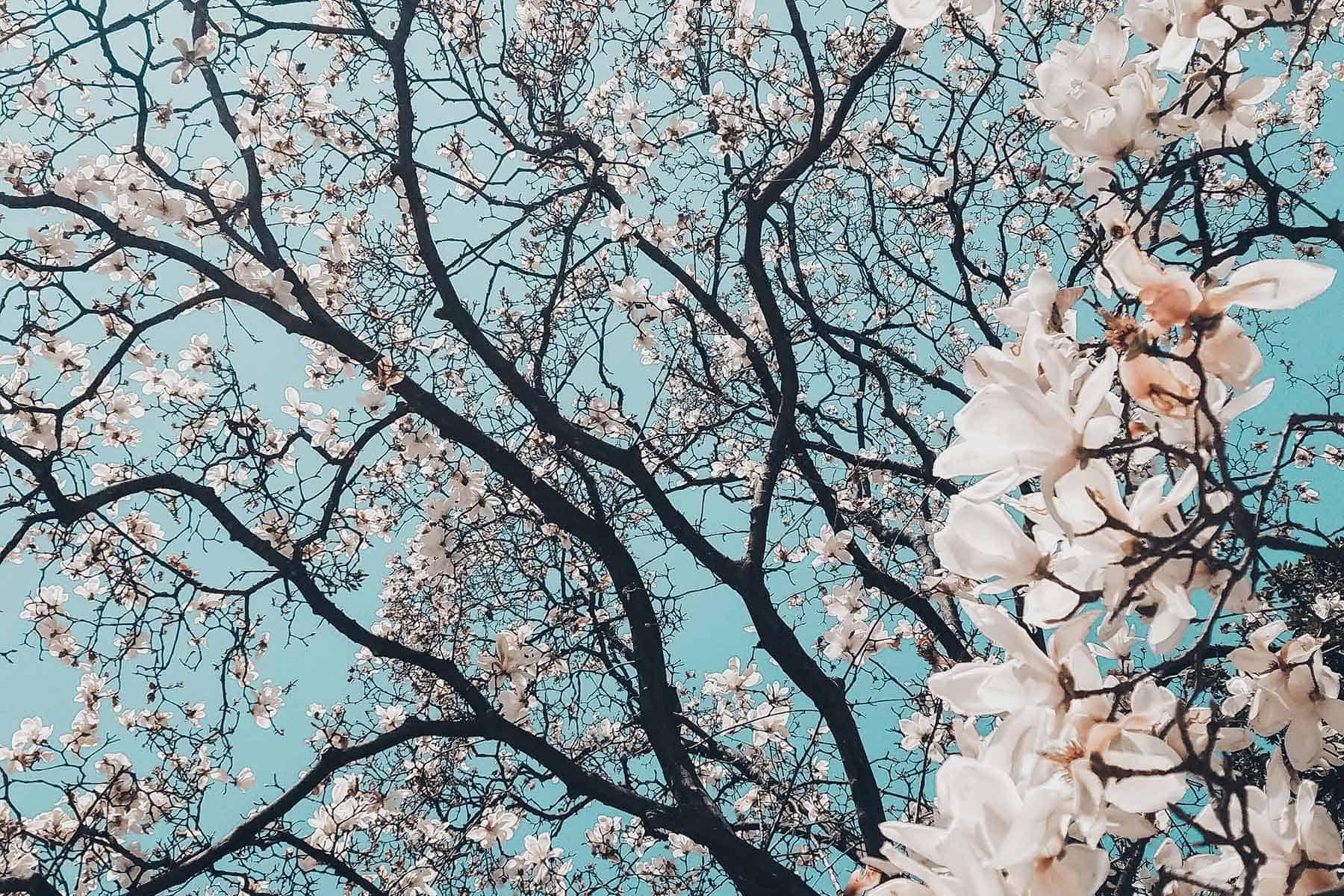 Resor_till_Tokyo_Japan_Körsbärsträd_med_Nygren_Lind_Resebyrå