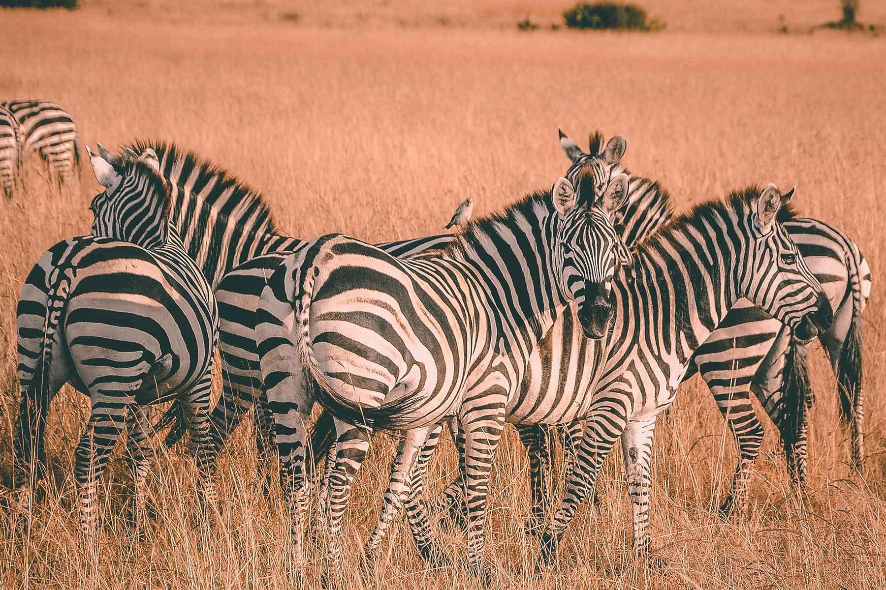 Safari-Kenya-med-boende-på-Entumoto-Camp-hos-Nygren-&-Lind-Resebyrå_3