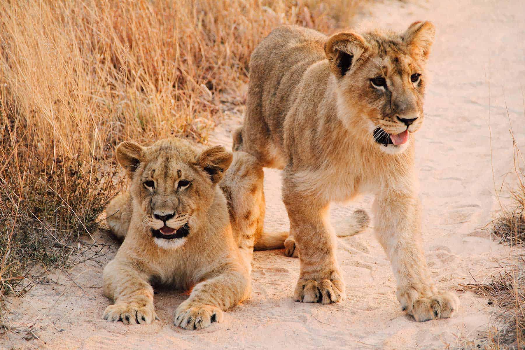 Safariresor_Zambia_Lejon_2_Nygren_Lind_Resebyrå
