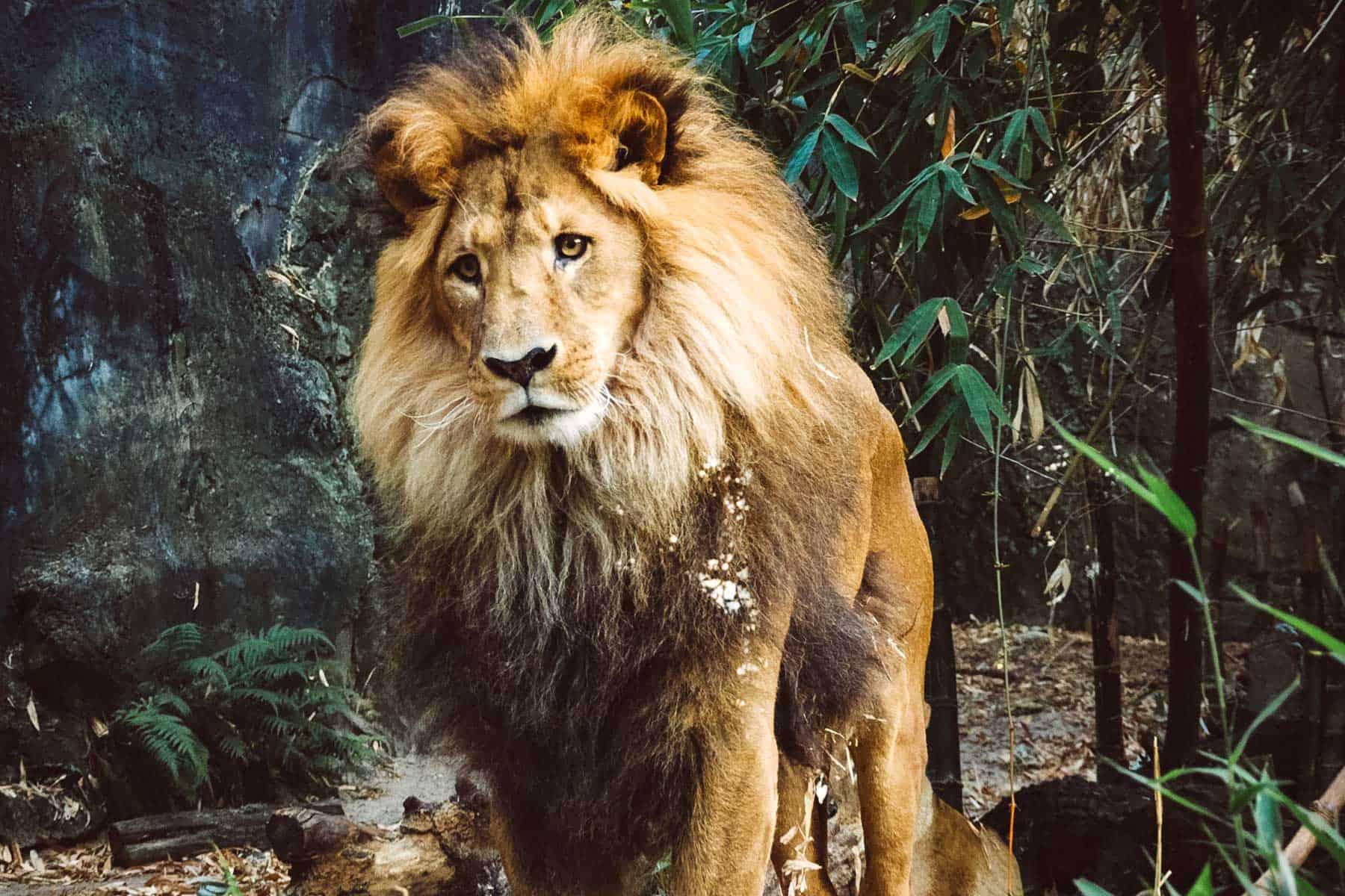 Safariresor_Zambia_Lejon_3_Nygren_Lind_Resebyrå