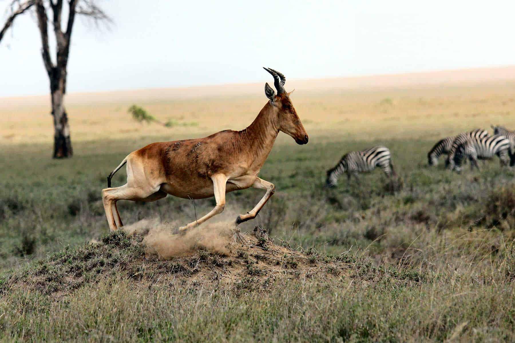 Safariresor_Zambia_antilop_Nygren_Lind_Resebyrå