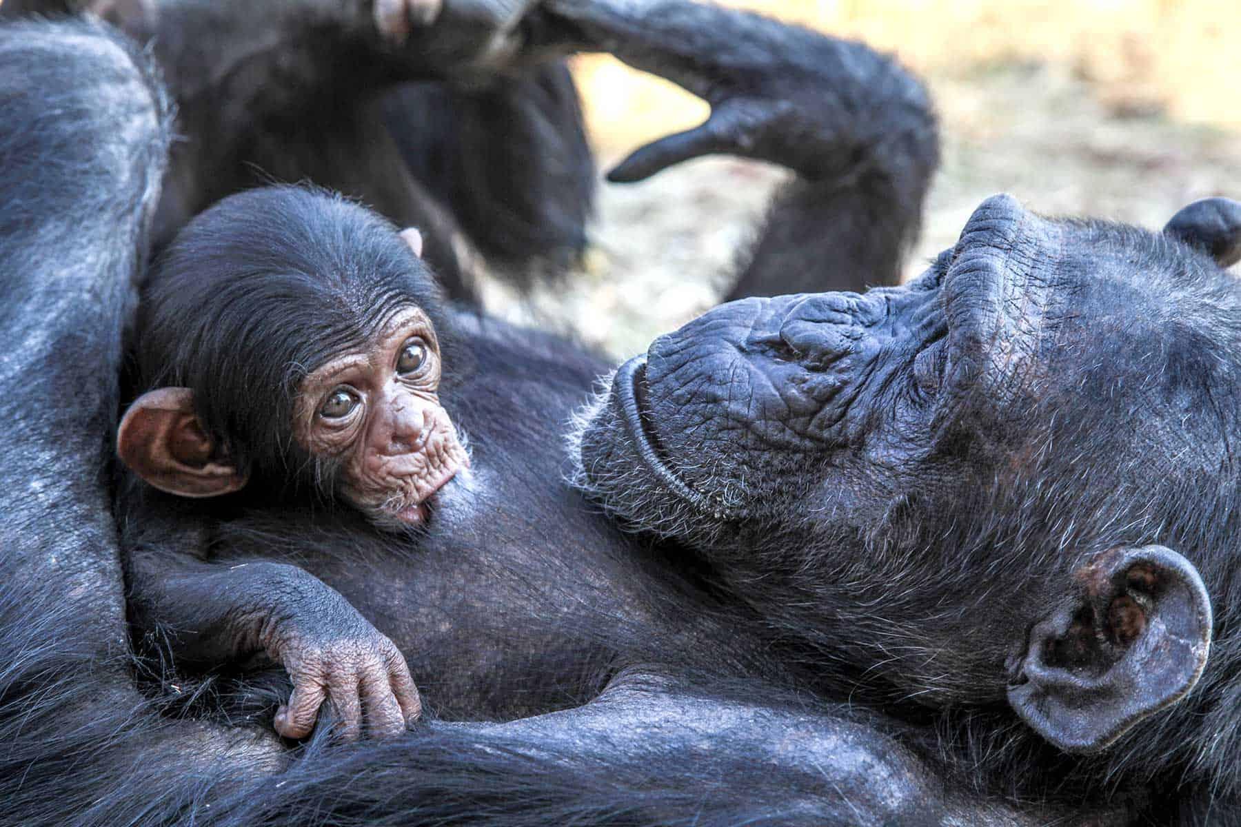 Safariresor_Zambia_chimpanser_Nygren_Lind_Resebyrå