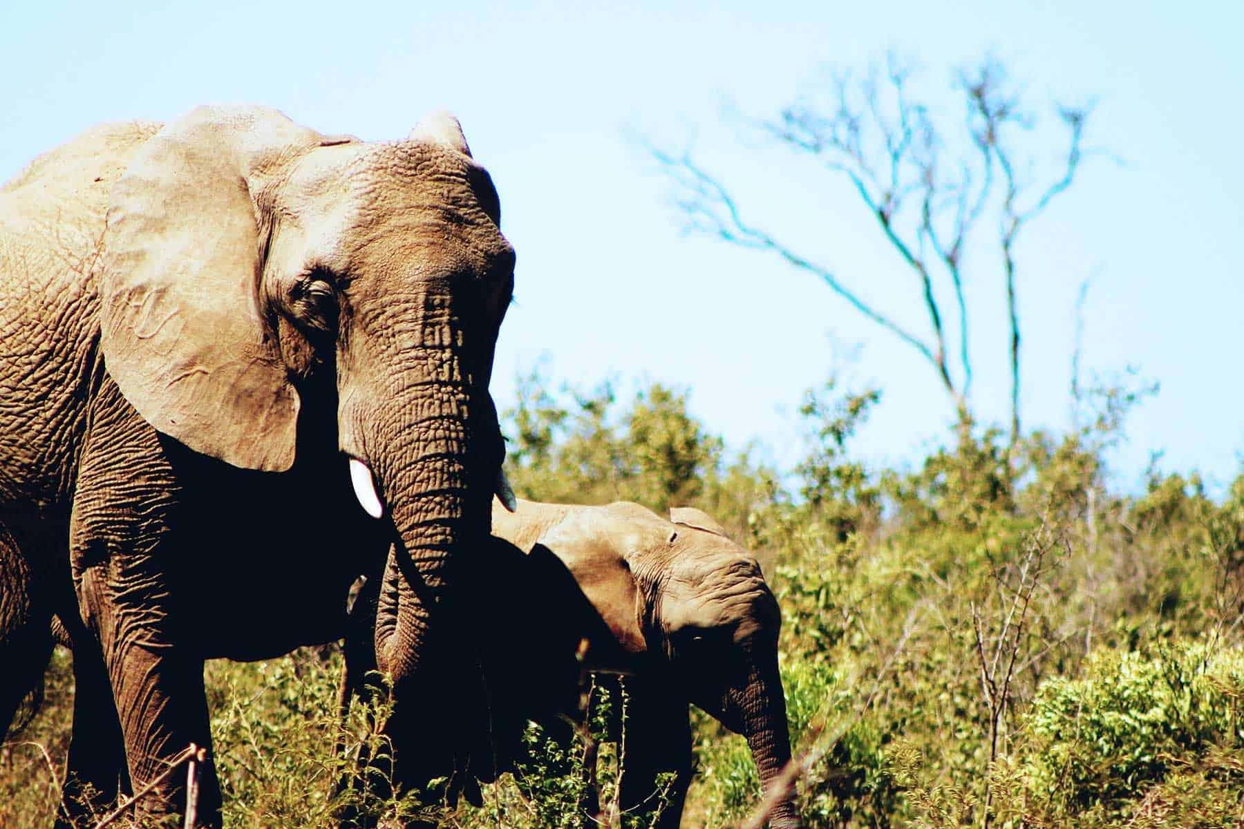 Safariresor_Zambia_elefant_Nygren_Lind_Resebyrå