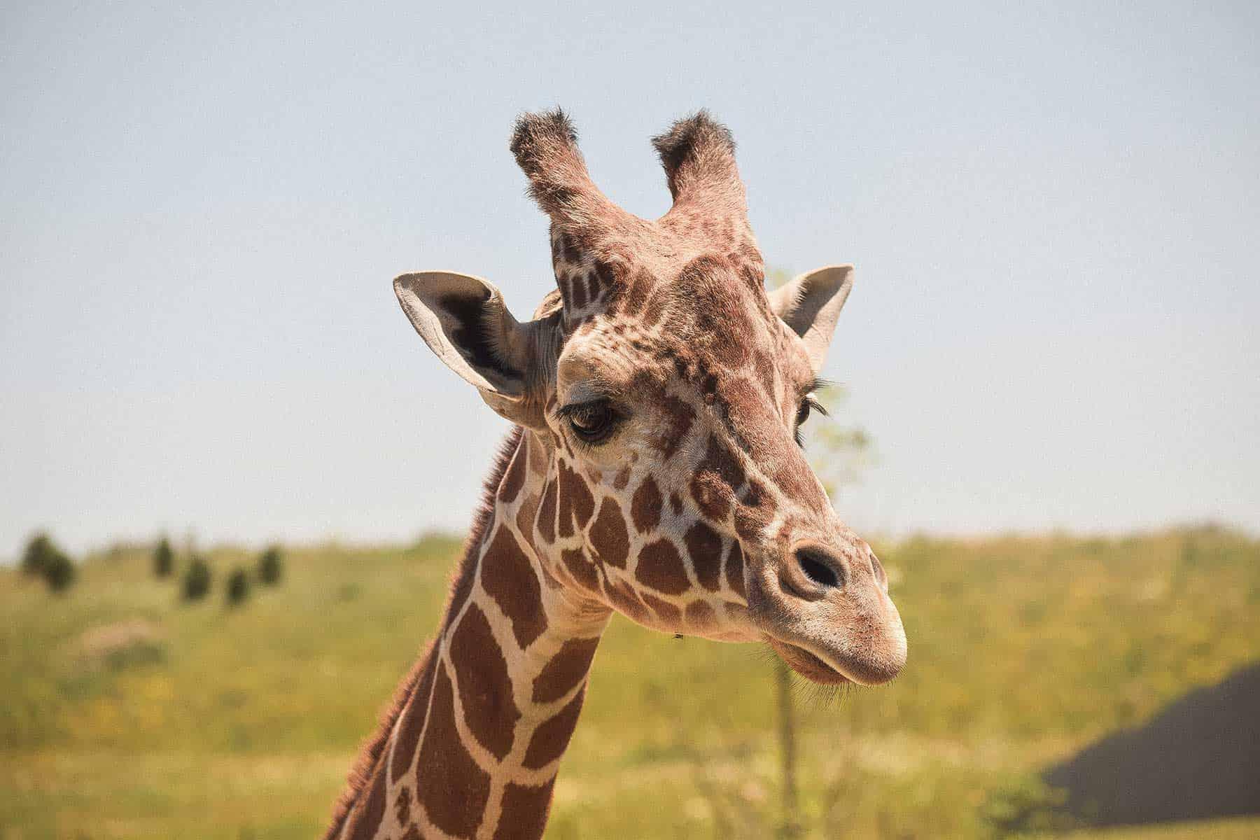 Safariresor_Zambia_giraffe_Nygren_Lind_Resebyrå