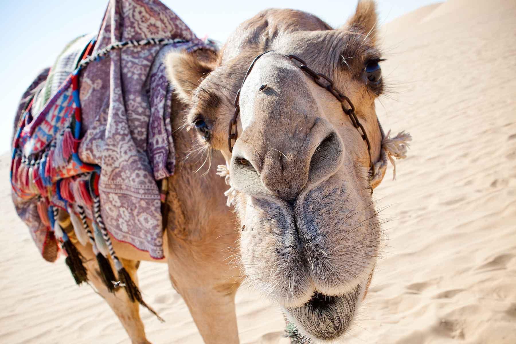 Skräddarsydda-resor-till-Ras-Al-Khaima---kamel---Nygren-&-Lind-Resebyrå