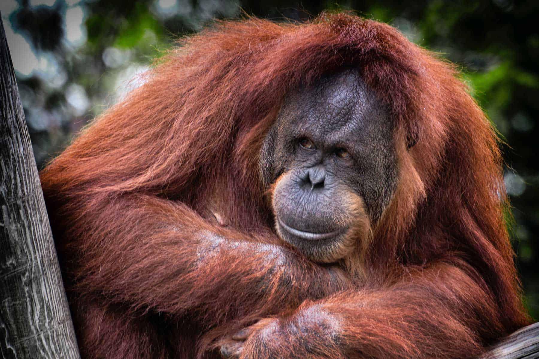 resor_till_borneo_orangutang_med_Nygren_Lind_Resebyrå