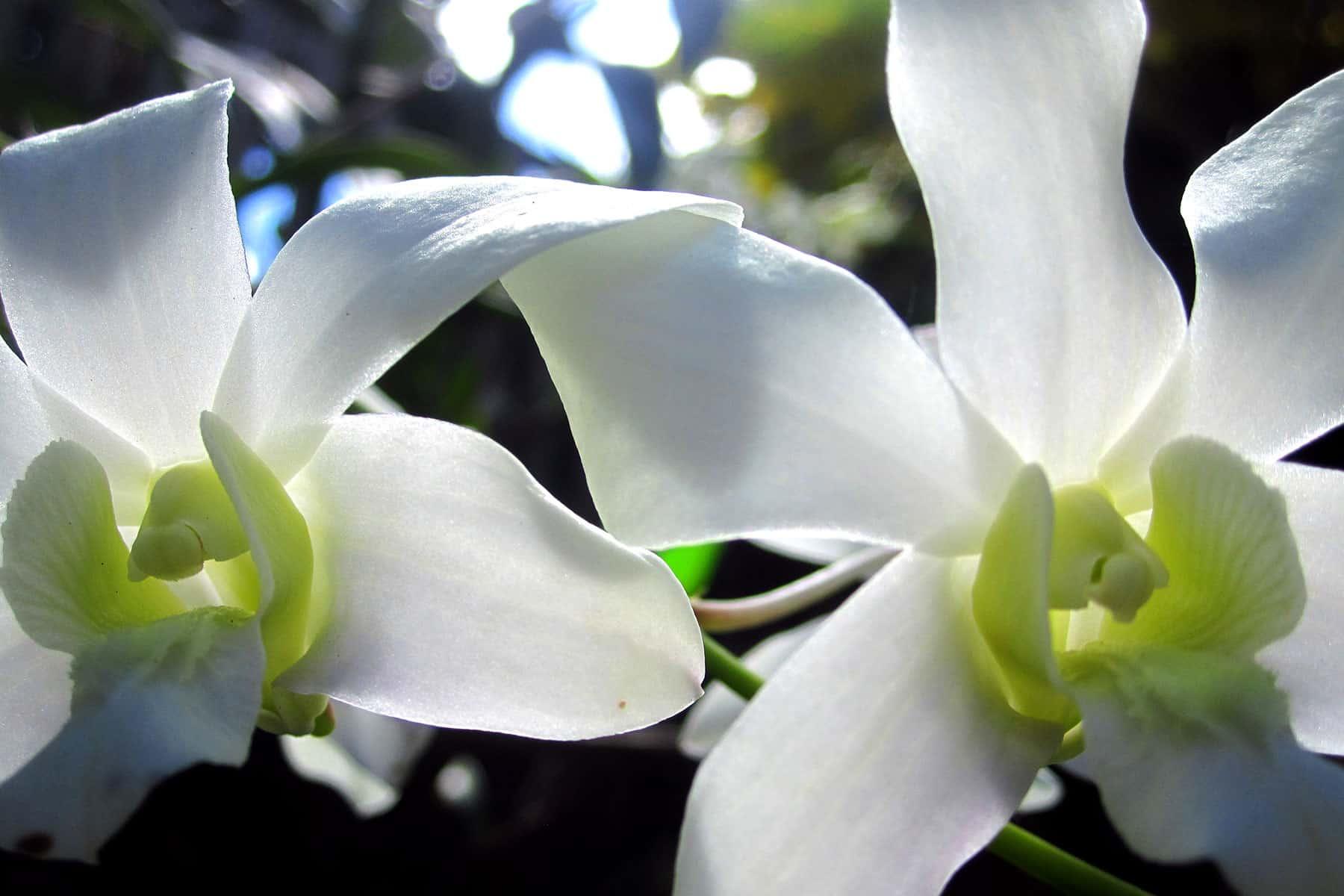 resor_till_borneo_orkideer_med_nygren_lind_resebyrå