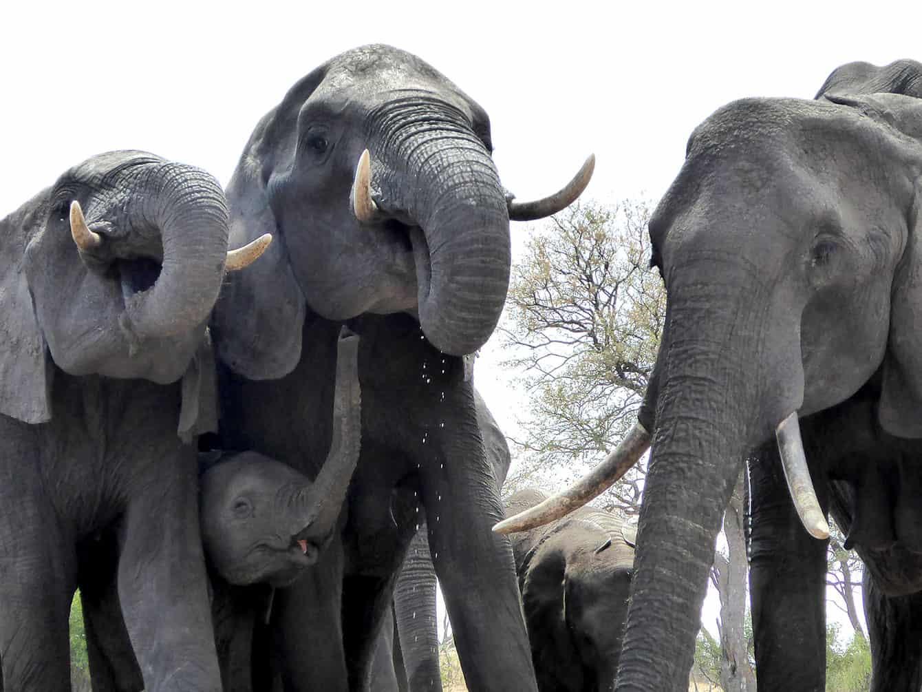 Elefantfamilj i Zimbabwe