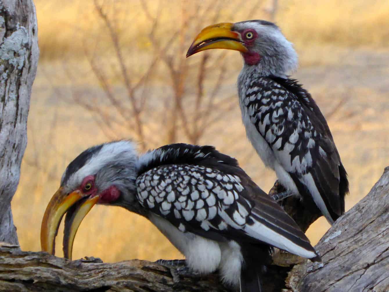 Zimbabwes fåglar på nära håll