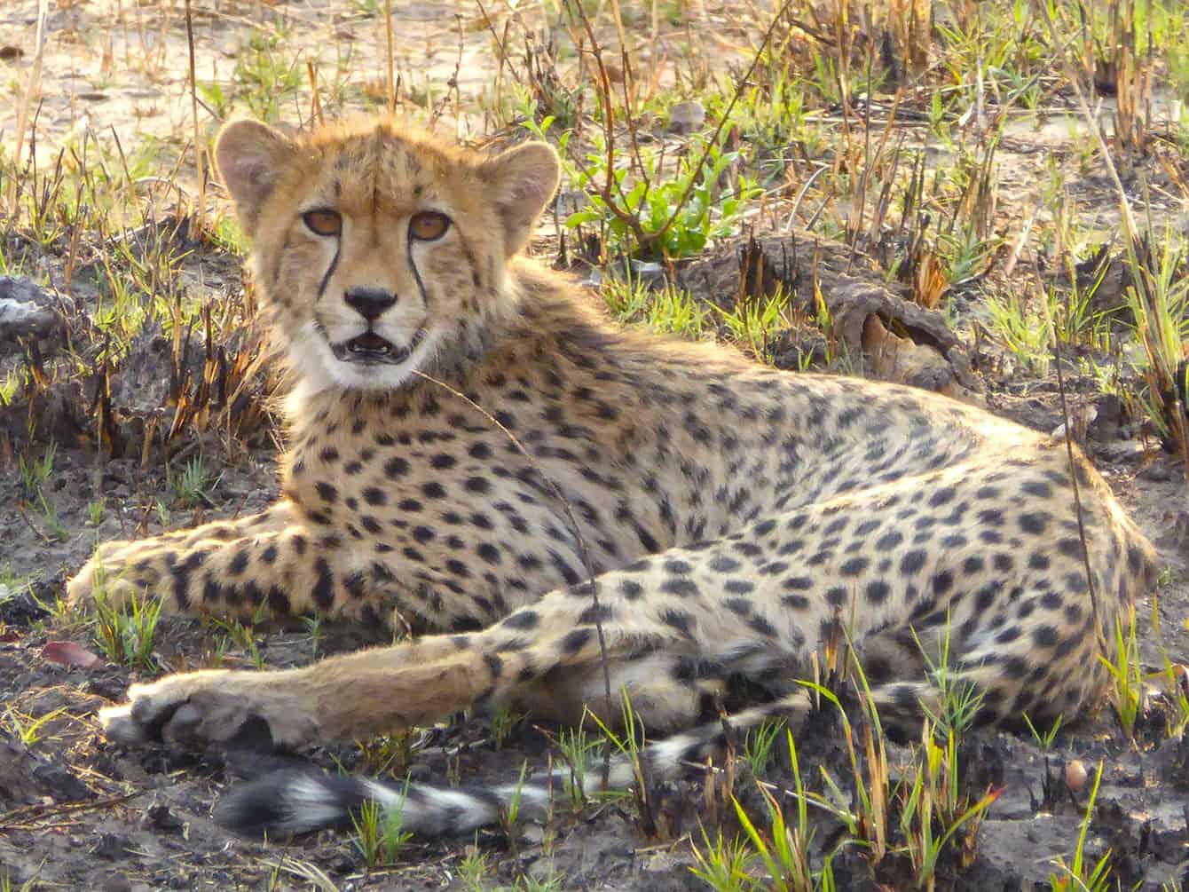 Zimbabwes geparder på nära håll