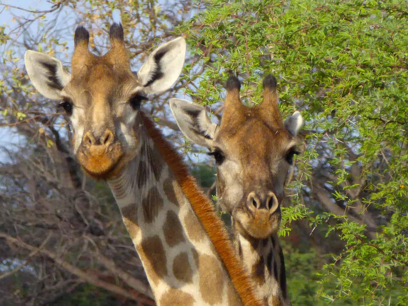 Zimbabwes giraffer