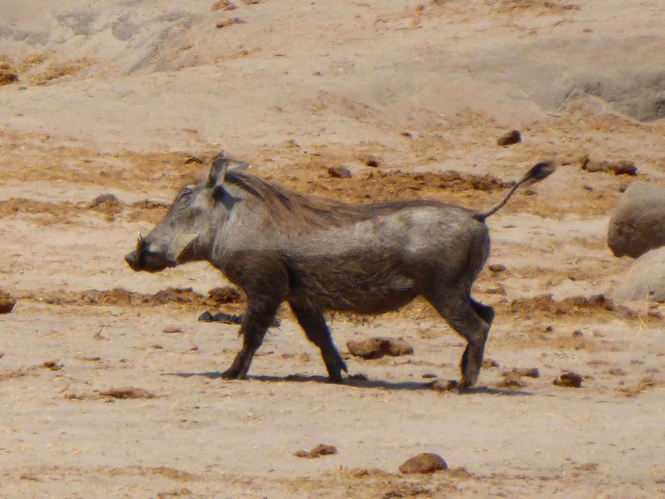 Zimbabwes vildsvin